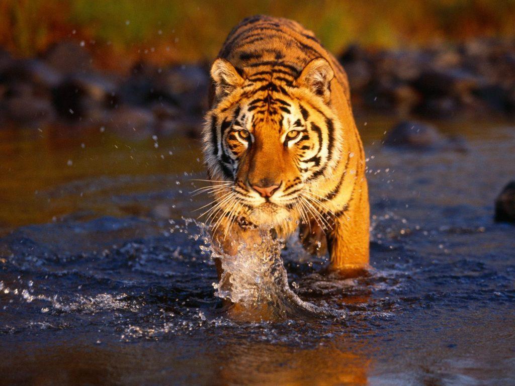 Tigre Salvaje 1024x768 Fondos De Pantalla Y Wallpapers