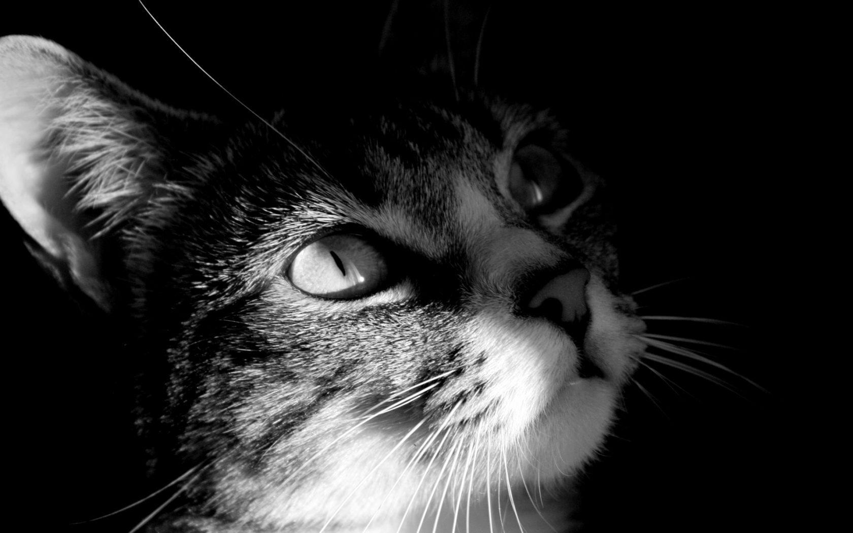 Gato en blanco y negro 1680x1050 fondos de pantalla y for Fondo de pantalla blanco y negro