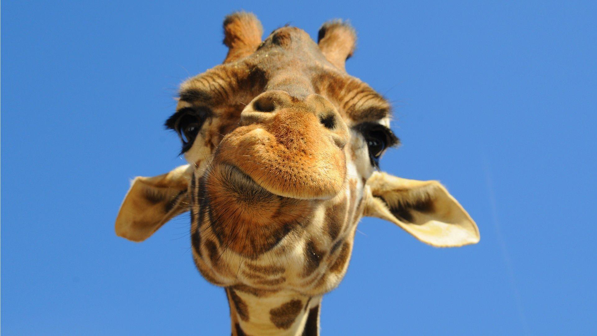 Cabeza de una jirafa - 1920x1080 :: Fondos de pantalla y