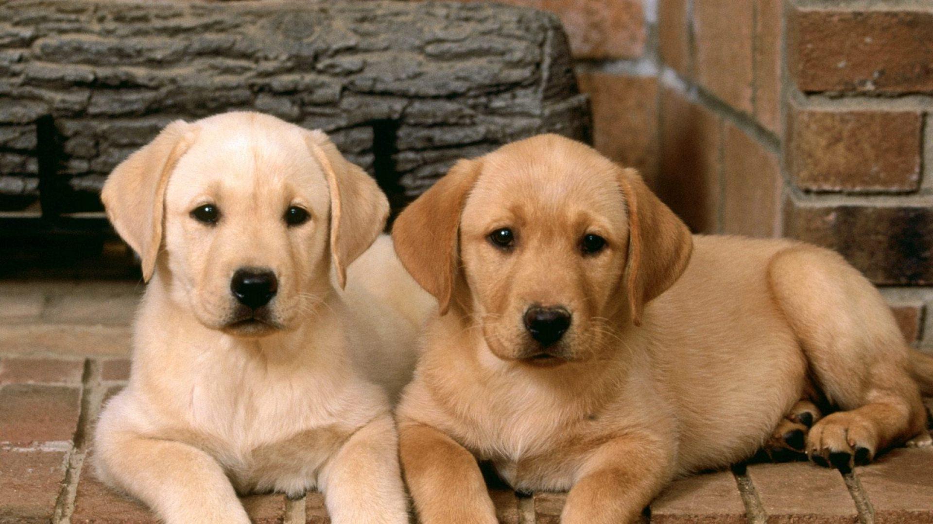 Cachorros de perros labradores 1920x1080 fondos de for Fondos de pantalla de perritos