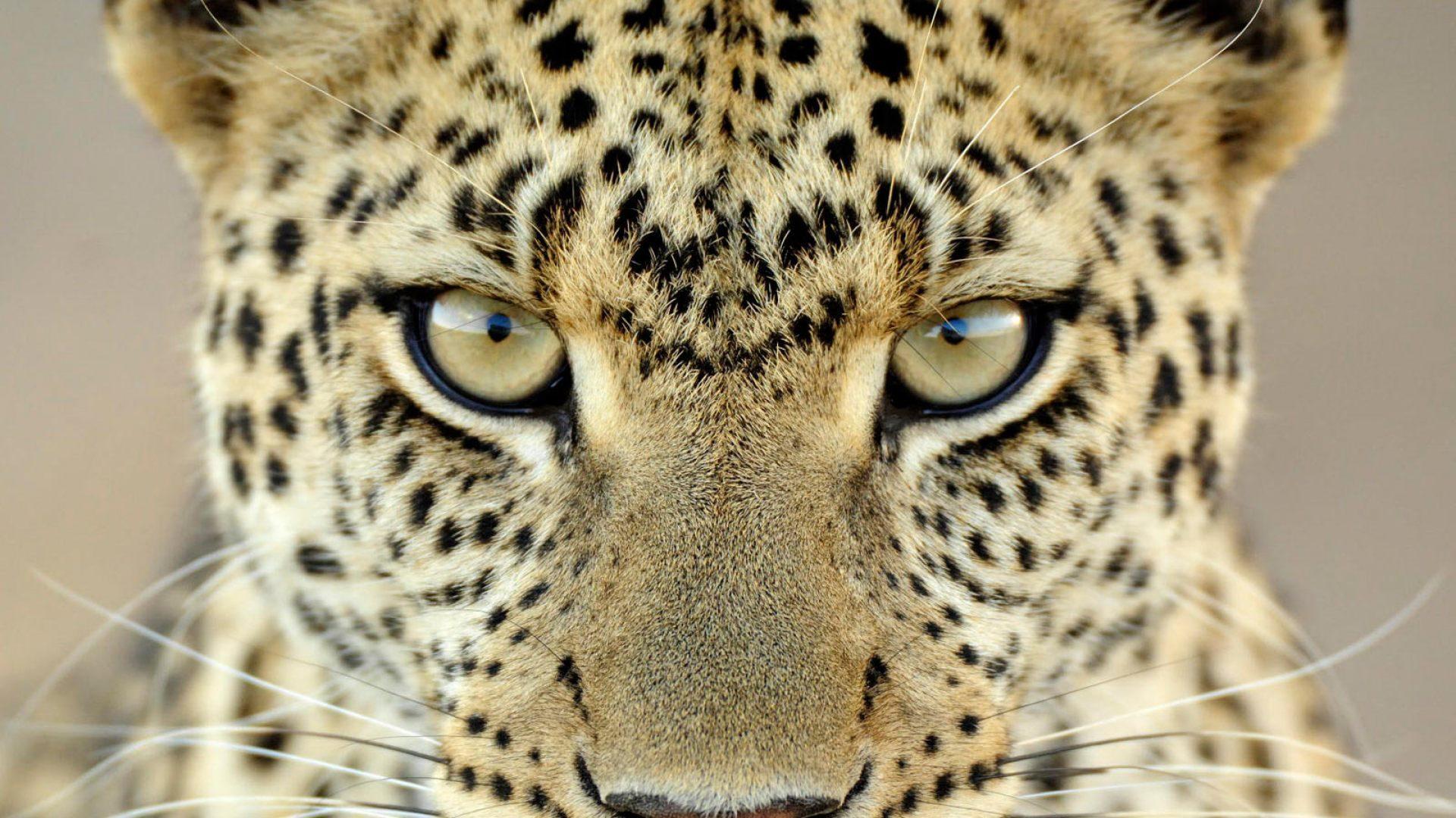 Animales Felino Leopardos Fondo De Pantalla Fondos De: 1920x1080 :: Fondos De Pantalla Y Wallpapers