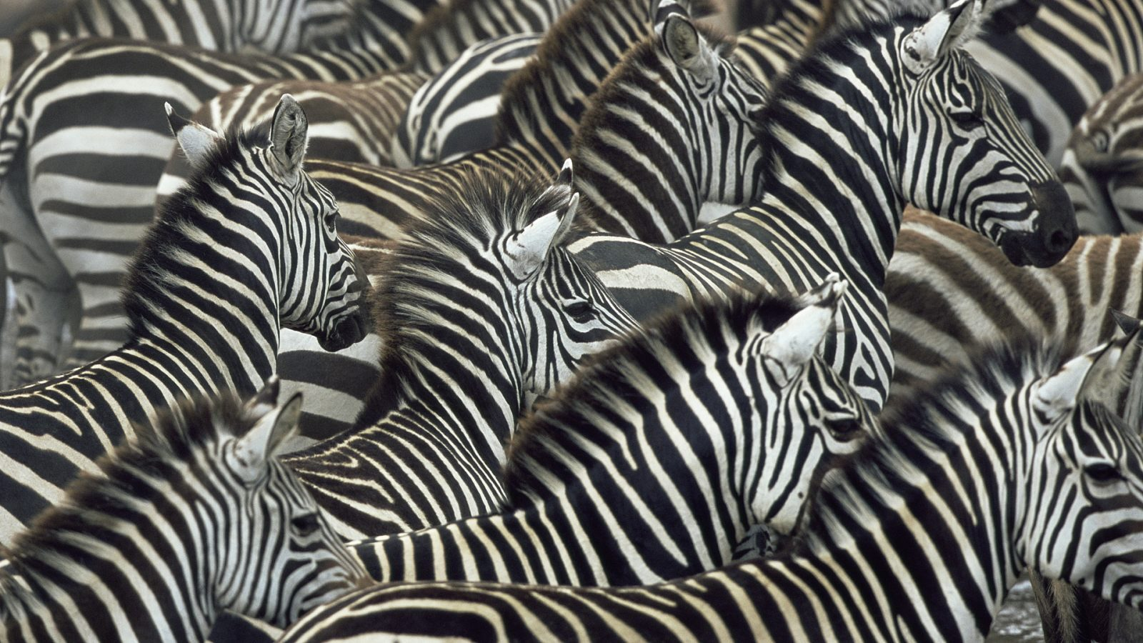 Galería de imágenes: Fondos de pantalla de cebras