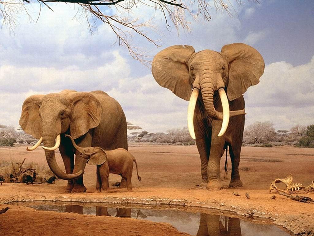 elefantes en la sabana imágenes y fotos