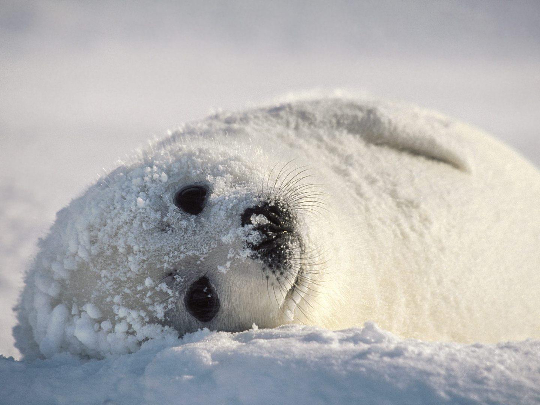 Cute Baby Seals 9361 Hd Wallpapers: Foca ártica :: Imágenes Y Fotos