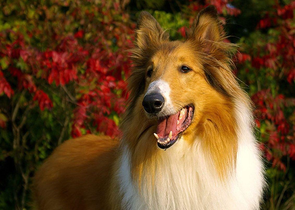 rough collie lassie pu...