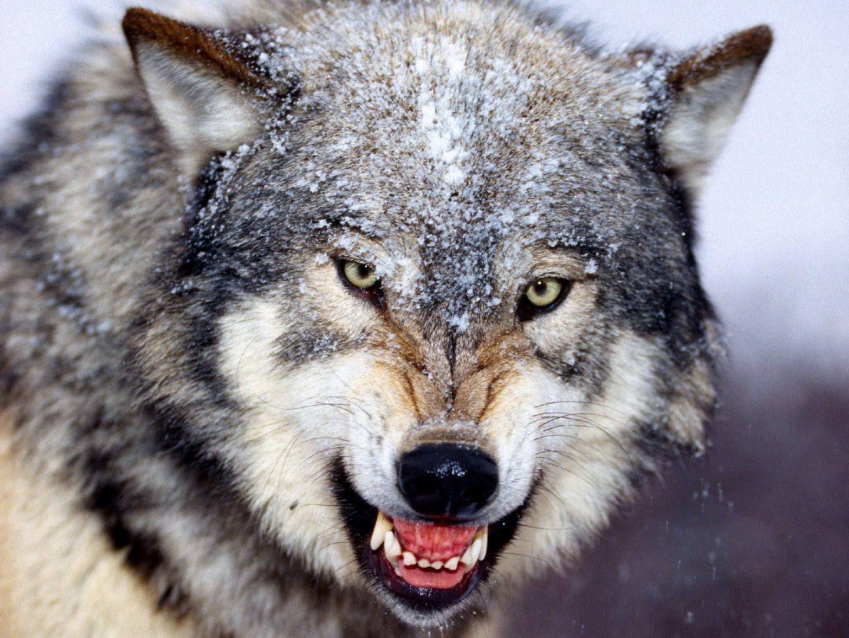 Galería De Imágenes Fondos De Pantalla De Lobos