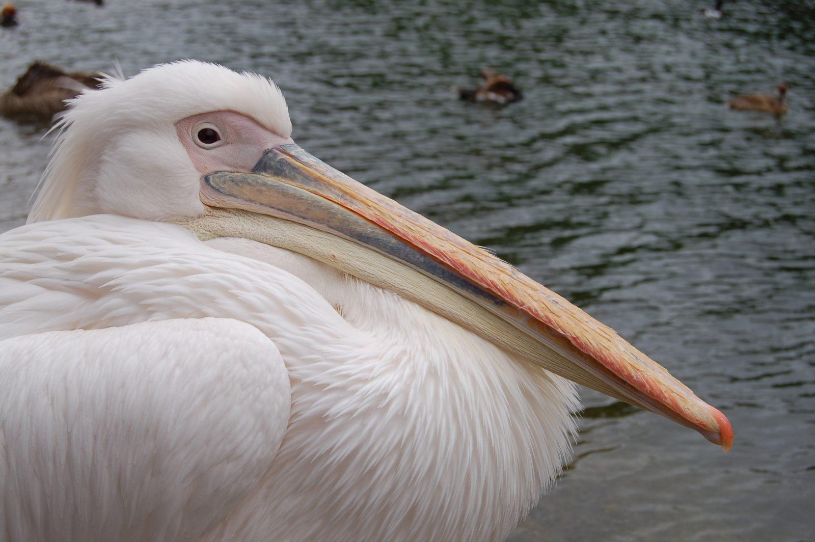 Pel cano im genes y fotos - Fotos de pelicanos ...
