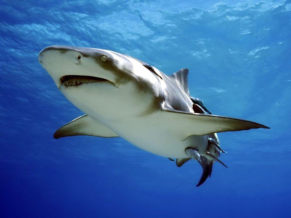 Tiburón Nadando :: Imágenes Y Fotos