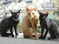 Gatos Cornish Rex
