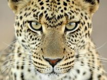 Leopardo HD